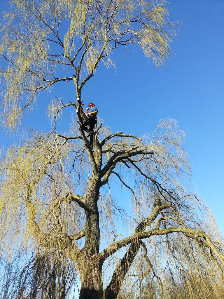 Snoeien van bomen - Snoeiwerkzaamheden - Boomkapbedrijf De Winter Wirdum Groningen - Boomkap Stobbenfrezen Versnipperen